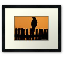 A thrush on the fence Framed Print