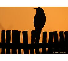 A thrush on the fence Photographic Print