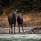 Cautious Moose by JamesA1