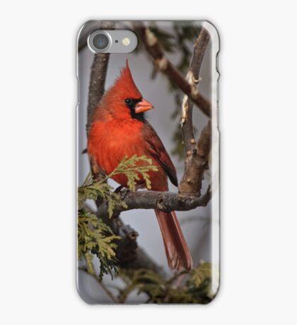 Male Northern Cardinal in Cedar Tree - Ottawa, Ontario iPhone Case/Skin