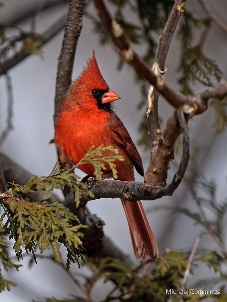Male Northern Cardinal in Cedar Tree - Ottawa, Ontario by Michael Cummings