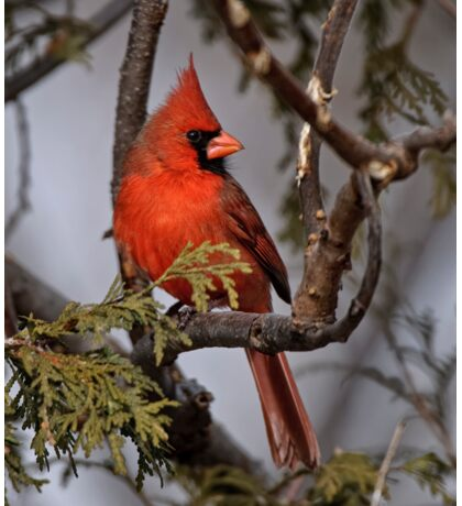 Male Northern Cardinal in Cedar Tree - Ottawa, Ontario Sticker