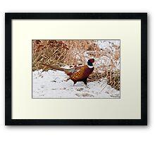 Ringed Neck Pheasant Framed Print
