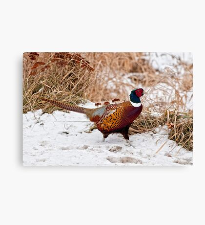Ringed Neck Pheasant Canvas Print