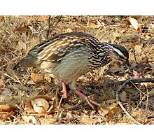 Bospatrys / Crested Francolin Photographic Print