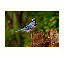 Blue Jay on Stump - Ottawa, Ontario Art Print