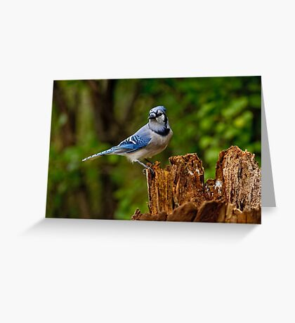 Blue Jay on Stump - Ottawa, Ontario Greeting Card