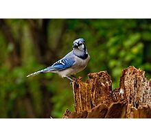 Blue Jay on Stump - Ottawa, Ontario Photographic Print