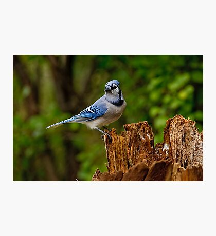 Blue Jay on Stump - Ottawa, Ontario Photographic Print