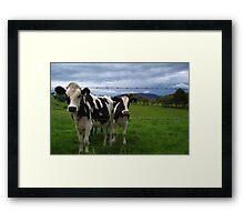 curious cows Framed Print