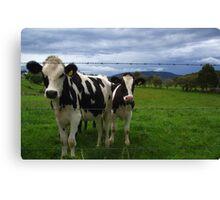 curious cows Canvas Print