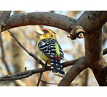 Kuifkophoutkapper / Crested barbet Photographic Print