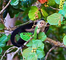 Spider Monkey, Costa Rica by Ken Scarboro