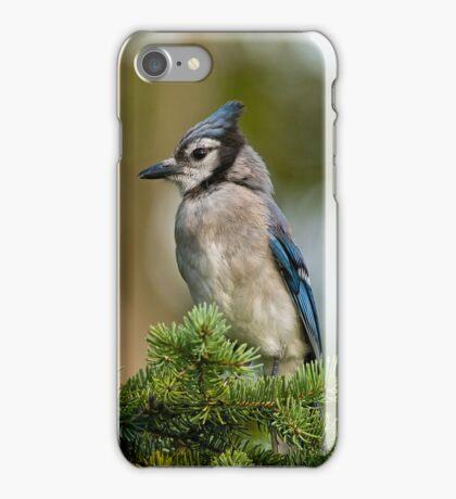 Blue Jay in Spruce Tree - Ottawa, Ontario iPhone Case/Skin