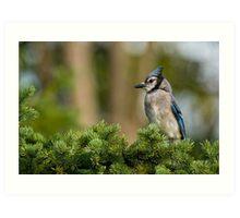 Blue Jay in Spruce Tree - Ottawa, Ontario Art Print