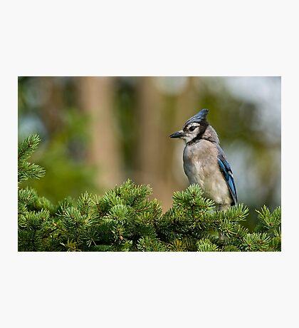 Blue Jay in Spruce Tree - Ottawa, Ontario Photographic Print
