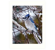 Blue Jay on Ice Covered Branch - Ottawa, Ontario Art Print