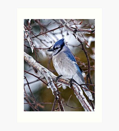 Blue Jay on Ice Covered Branch - Ottawa, Ontario Art Print