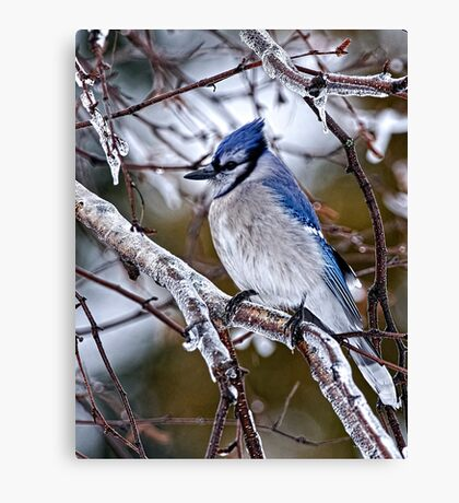 Blue Jay on Ice Covered Branch - Ottawa, Ontario Canvas Print