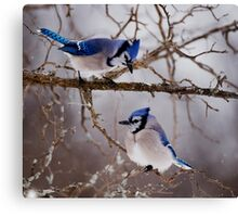 Blue Jays - Shirley's Bay, Ottawa Canvas Print
