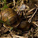 Snail II by liza1880