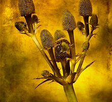 Eryngium Gold by John Edwards