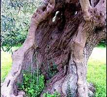 Old Olive Tree by Janone