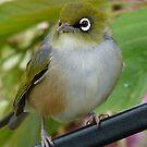 Beauty Is In The Eye Of The Beholder! - Silvereye - NZ by AndreaEL