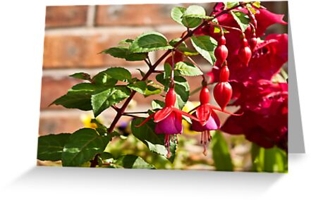 Fuchsia by Trevor Kersley