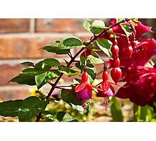 Fuchsia Photographic Print