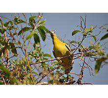 green pigeon-chandan park Photographic Print
