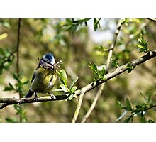 Blue Tit with nesting material 4. Photographic Print