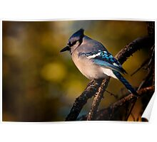 Evening Blue Jay Poster