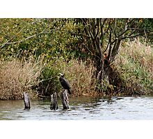 Cormorant waiting for lunch Photographic Print