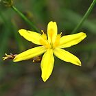 yellow rush lily by jeroenvanveen