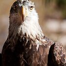 Bald Eagle by rwilks