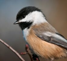 Black Capped Chickadee Sticker