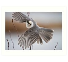 Gray Jay Take Off Art Print