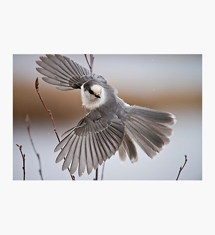 Gray Jay Take Off Photographic Print