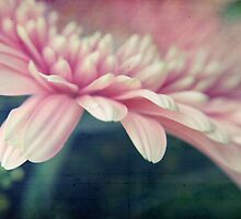 Pink Gerbera by marziafrank