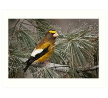 Evening Grosbeak On Pine 2 Art Print