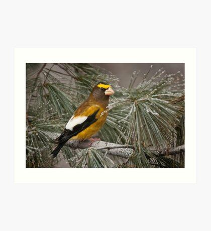 Evening Grosbeak On Pine 2 Art Print