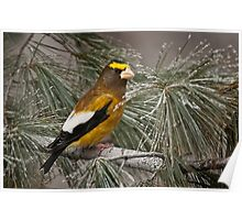 Evening Grosbeak On Pine 2 Poster