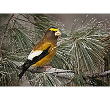 Evening Grosbeak On Pine 2 Photographic Print