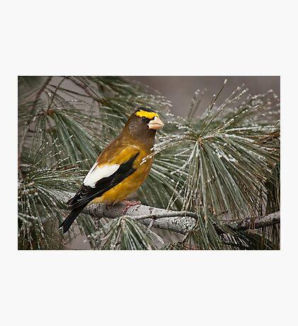 Evening Grosbeak On Pine 2 Photographic Print