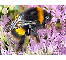 Bee on a Sedum . Photographic Print
