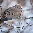 Mouring Dove In Shrubs by Michael Cummings