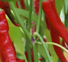 Red hot chilli Sticker