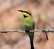 On the look out ... Rainbow Bee-eater by mosaicavenues