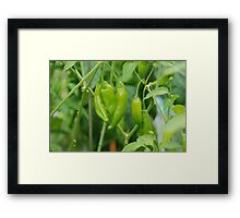Lemon Drop Chilli Framed Print